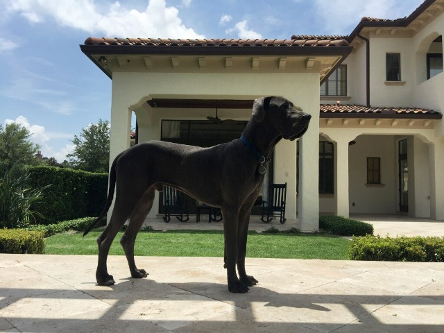 Blue Great Dane Puppies For Sale Puppy Kentucky Symsonia KY