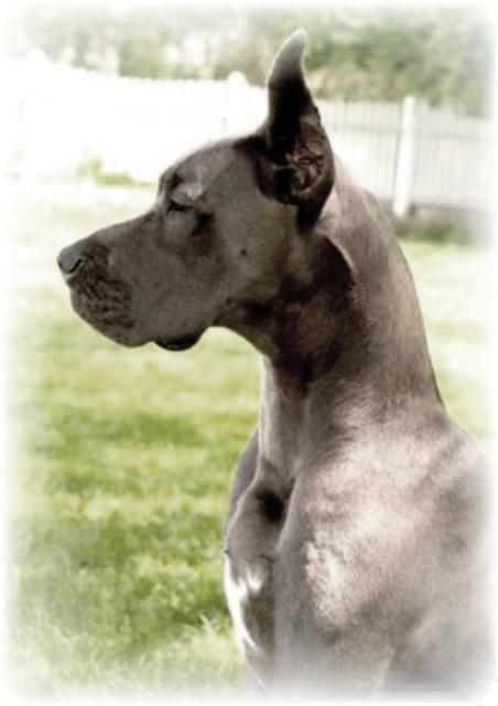 Breeder AKC Blue Great Dane Puppies For Sale Kentucky