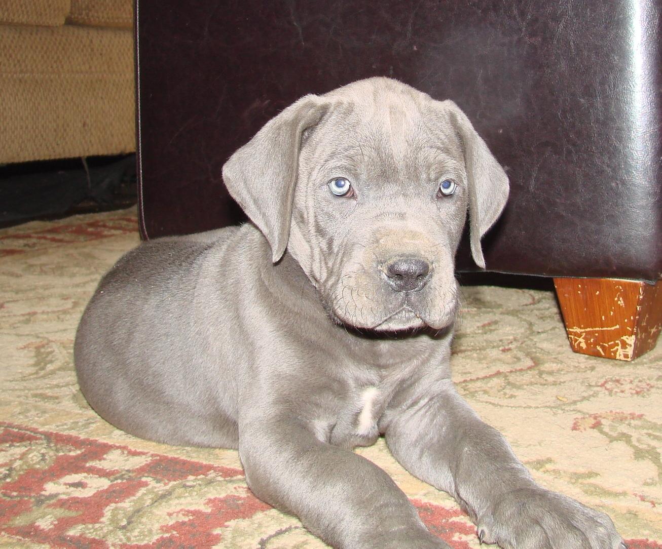 Blue Great Danes For Sale In Kentucky Blue Great Dane Breeder