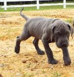 akc breeder blue great dane puppies for sale ky