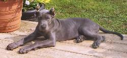 akc breeder blue great dane puppy for sale ky