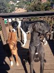 breeder akc blue great dane puppies ky