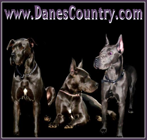 breeder akc blue great danes puppies kentucky for sale stud male female